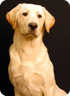 Labrador Retriever Dog for adoption in Newland, North Carolina - Boss