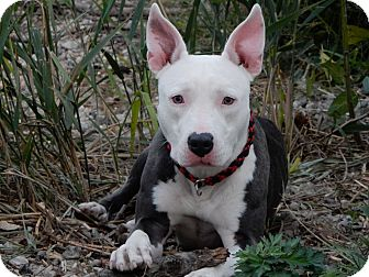 American Staffordshire Terrier Mix Dog for adoption in Long Beach, New York - Cassie