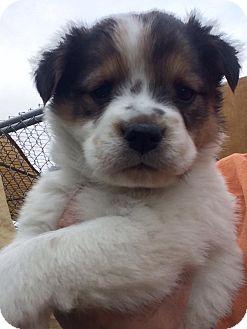 Australian Shepherd/Australian Cattle Dog Mix Puppy for adoption in Cave Creek, Arizona - Aubree