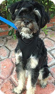 Havanese/Tibetan Terrier Mix Puppy for adoption in Poway, California - HERO