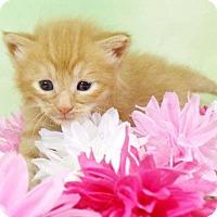 Adopt A Pet :: Honey Lemon - Harrisonburg, VA