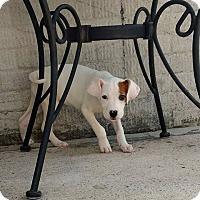 Adopt A Pet :: Oliver - Winchester, VA