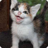 Adopt A Pet :: Daisy - Naperville, IL