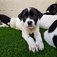 Adopt A Pet :: Tilly - Chicago, IL