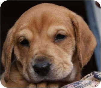 Beagle Mix Puppy for adoption in Portland, Oregon - Alyssa Kay