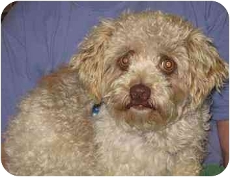 Poodle (Miniature) Mix Puppy for adoption in Homer, New York - Johnny