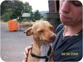 Miniature Pinscher/Chihuahua Mix Dog for adoption in Longview, Washington - Brigit