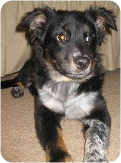 Australian Shepherd/Border Collie Mix Puppy for adoption in Naperville, Illinois - Bailey is adopted