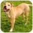 Photo 3 - American Staffordshire Terrier/Labrador Retriever Mix Dog for adoption in Marina del Rey, California - Butterscotch