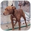 Photo 1 - American Staffordshire Terrier Mix Dog for adoption in Bloomsburg, Pennsylvania - Elsie