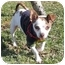 Photo 1 - Chihuahua Puppy for adoption in San Clemente, California - PAUL