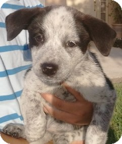 Brittany/Australian Cattle Dog Mix Puppy for adoption in Orlando, Florida - Pepper#5F