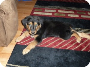 Shepherd (Unknown Type) Mix Puppy for adoption in Marlton, New Jersey - Baby Charlie