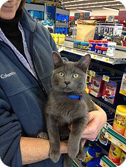 Chartreux Cat for adoption in Ogden, Utah - Derrick