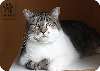 Domestic Shorthair Cat for adoption in Lancaster, Massachusetts - Sox