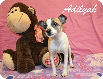 Chihuahua Mix Puppy for adoption in Laplace, Louisiana - Adilyah