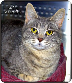 Domestic Shorthair Cat for adoption in Yuba City, California - Buffy