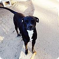 Adopt A Pet :: Callie - Silsbee, TX