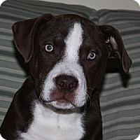 Adopt A Pet :: Beau - PENDING - kennebunkport, ME