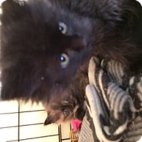 Adopt A Pet :: Kitten - Wenatchee, WA