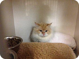 Ragdoll Cat for adoption in Edmonton, Alberta - Hugo