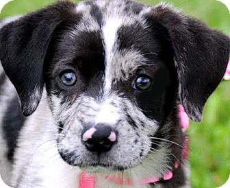 Catahoula Leopard Dog Puppy for adoption in Wakefield, Rhode Island - ROSIE(GORGEOUS PUPPY!!
