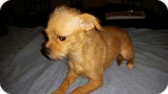 Poodle (Toy or Tea Cup)/Chihuahua Mix Dog for adoption in Houston, Texas - KIARA