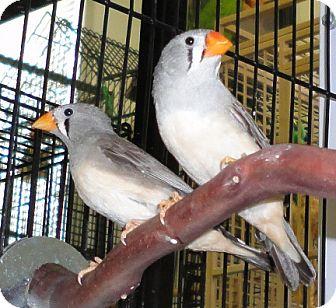 Finch for adoption in Grandview, Missouri - Miranda