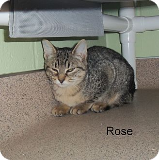 Domestic Shorthair Kitten for adoption in Slidell, Louisiana - Rose