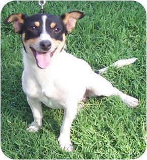 Jack Russell Terrier Dog for adoption in Phoenix, Arizona - CRACKER JACK