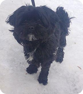 Shih Tzu Mix Dog for adoption in Bloomfield, Connecticut - Finbar
