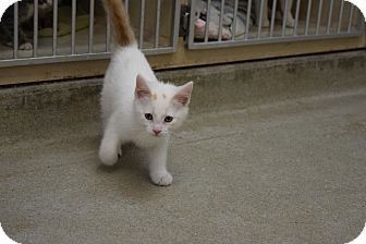 Domestic Shorthair Kitten for adoption in Bucyrus, Ohio - Max The Wild Thing