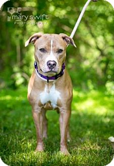 Pit Bull Terrier Mix Dog for adoption in Reisterstown, Maryland - Nadia
