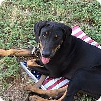 Adopt A Pet :: Molly - Austin, TX