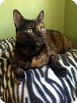 Domestic Shorthair Cat for adoption in Las Vegas, Nevada - Gia