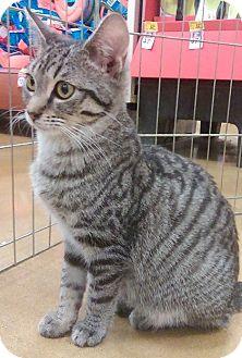 Domestic Shorthair Kitten for adoption in Hillside, Illinois - Dallas-7 MONTHS & SMALL