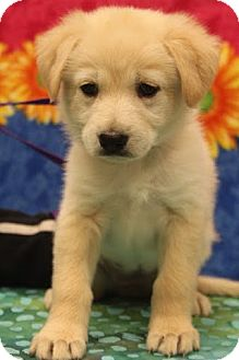 Labrador Retriever/Shepherd (Unknown Type) Mix Puppy for adoption in Bedminster, New Jersey - Grace