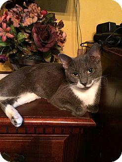 Domestic Shorthair Cat for adoption in Jacksonville, Florida - Sadie