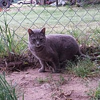 Domestic Shorthair Cat for adoption in Columbia, South Carolina - Saki