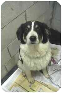 Border Collie Mix Dog for adoption in Powell, Ohio - Dora