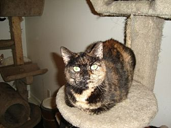 Domestic Shorthair Cat for adoption in Ft. Lauderdale, Florida - Confetti