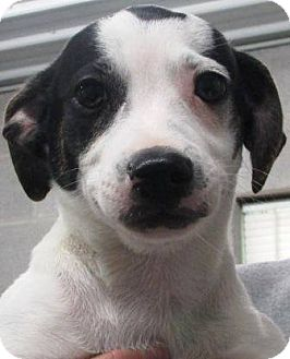 Hound (Unknown Type) Mix Puppy for adoption in Laingsburg, Michigan - Jack