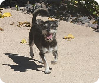Terrier (Unknown Type, Small) Mix Dog for adoption in Henderson, Nevada - Mona