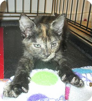 Domestic Shorthair Kitten for adoption in Mims, Florida - Puzzles