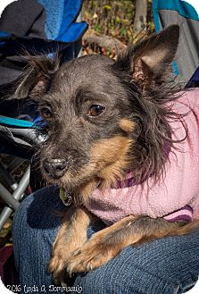 Miniature Pinscher/Chinese Crested Mix Dog for adoption in Loudonville, New York - Bitzy