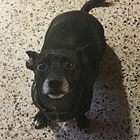 Miniature Pinscher Mix Dog for adoption in Davie, Florida - Buddy