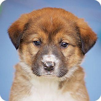 Australian Shepherd/German Shepherd Dog Mix Puppy for adoption in Cincinnati, Ohio - Crew