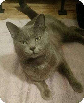 Russian Blue Cat for adoption in Savannah, Georgia - Blue