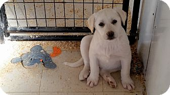 Labrador Retriever/Husky Mix Puppy for adoption in Walthill, Nebraska - Lolly