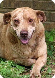Australian Shepherd/Australian Cattle Dog Mix Dog for adoption in Glastonbury, Connecticut - Gypsy Girl